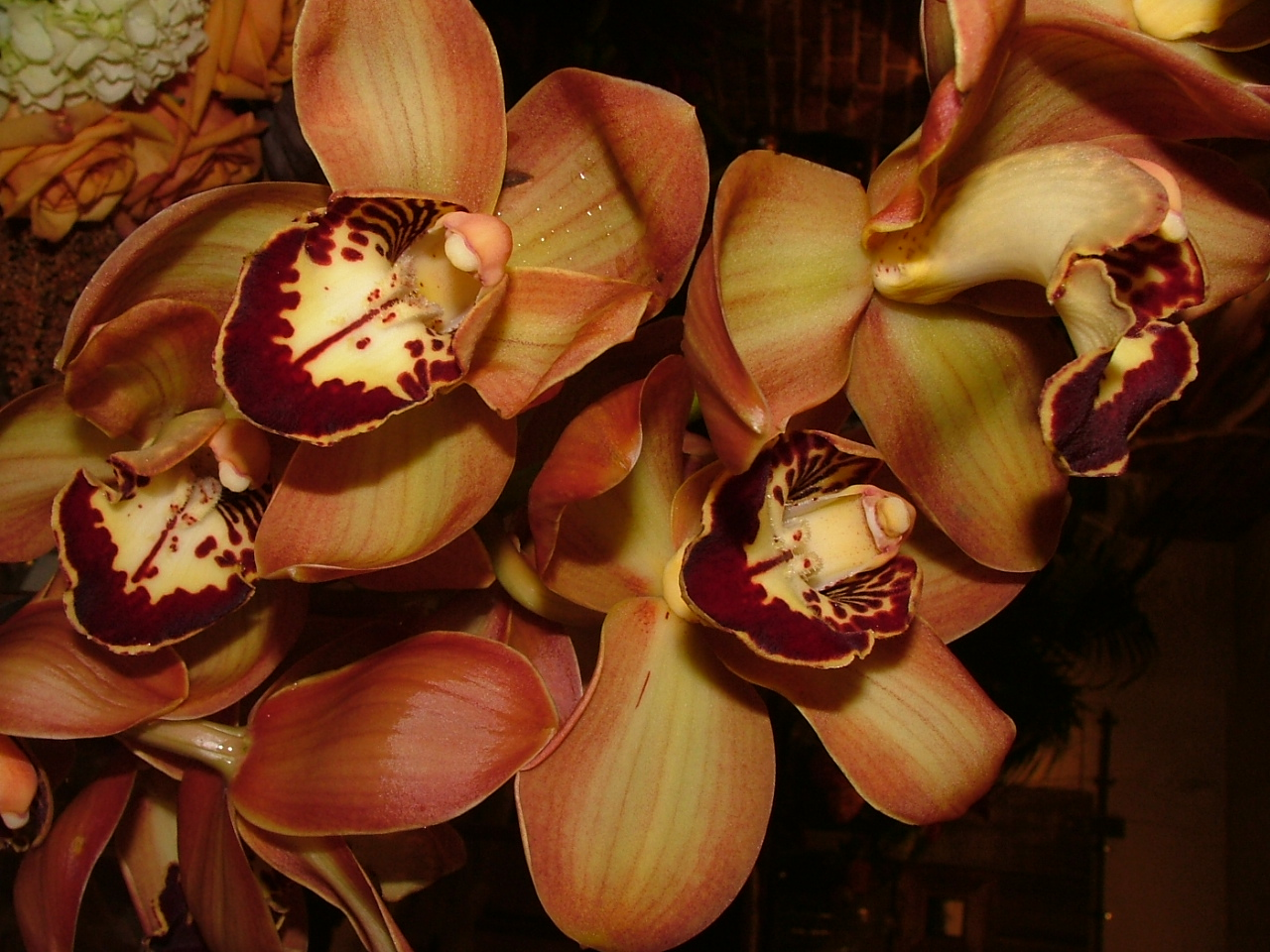 Charlie Brown Cymbidium Orchid